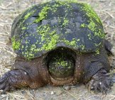 Snapping Turtle Looking For Nesting Site Photo By: (C) Russellg Www.fotosearch.com