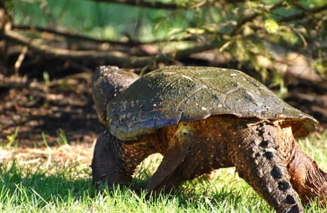 Snapping Turtle walking away Photo by: (c) dhousten www.fotosearch.com