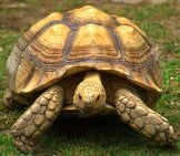 Portrait Of A Sulcata Tortoise / African Spurred Tortoise Photo By: Jim Bowen Https://creativecommons.org/licenses/by/2.0/