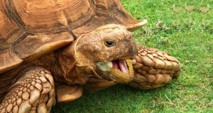 Closeup of a Sulcata tortoise / African spurred Photo by: Paul Morris//creativecommons.org/licenses/by/2.0/