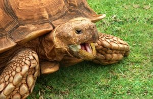Closeup of a Sulcata tortoise / African spurred Photo by: Paul Morrishttps://creativecommons.org/licenses/by/2.0/