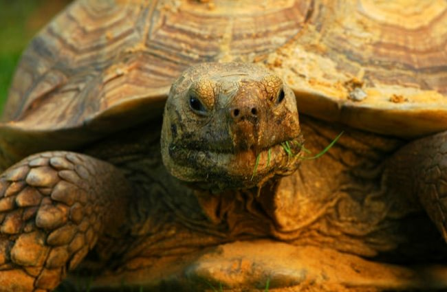 Closeup of a Sulcata tortoisePhoto by: Lies Van Rompaeyhttps://creativecommons.org/licenses/by/2.0/