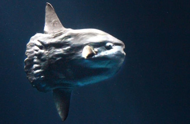 Ocean sunfish, a strange creature. Photo by: Sandip Bhattacharya //creativecommons.org/licenses/by/2.0/