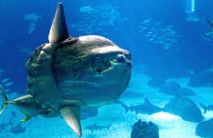 Ocean sunfish in the Portugal Lisbon Oceanarium.Photo by: (c) johnnorth www.fotosearch.com