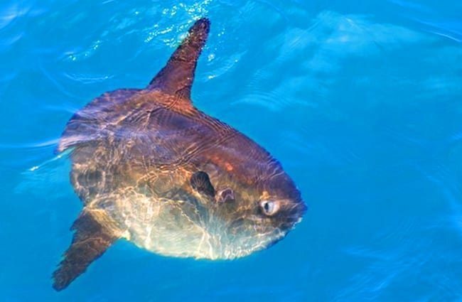 Sunfish in the wild. Photo by: (c) TonoBalaguer www.fotosearch.com