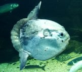 Ocean Sunfish (Mola Mola) In Captivity, Ameland, Holland. Photo By: (C) Michaklootwijk Www.fotosearch.com