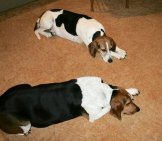 Treeing Walker Coonhounds Snoozing On The Floor Photo By: Saiberiac //creativecommons.org/licenses/by/2.0/