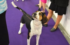Treeing Walker Coonhound at the dog show Photo by: Petful www.petful.com