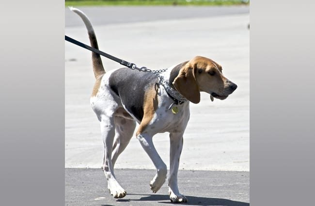 Treeing Walker Coonhound on leash, walkingPhoto by: Jean//creativecommons.org/licenses/by/2.0/