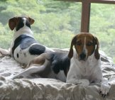 A Pair Of Treeing Walker Coonhounds Lazily Guarding Their Home Photo By: Saiberiac //creativecommons.org/licenses/by/2.0/
