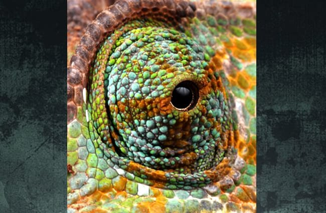 Extreme closeup of a Veiled Chameleon's eye