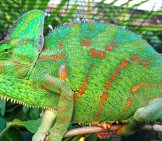 Closeup Of A Large Veiled Chameleon