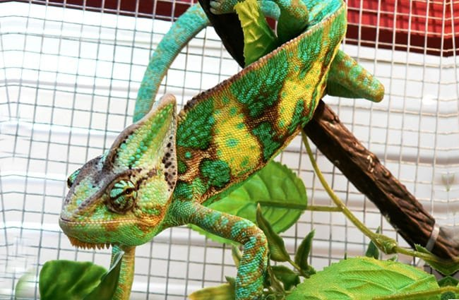 Veiled Chameleon in an aquariumPhoto by: Vaughan Leiberumhttps://creativecommons.org/licenses/by/2.0/