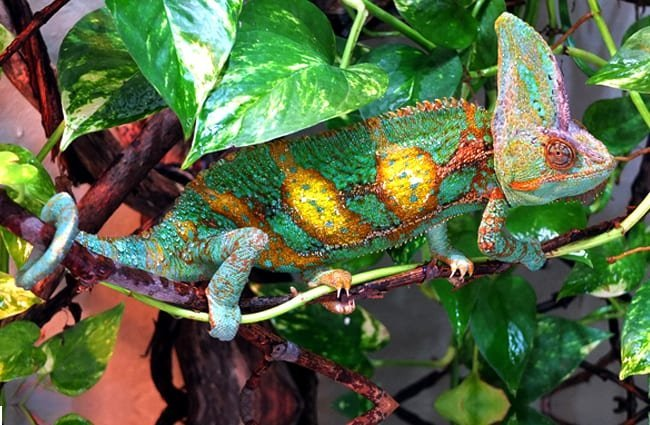 Colorful Veiled Chameleon hiding in the leaves Photo by: Vlad Litvinov //creativecommons.org/licenses/by/2.0/