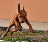 Vizsla Puppy Racing Around The Yard