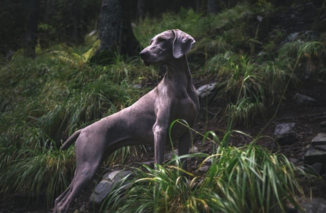 Weimaraner on the trail, late in the day.
