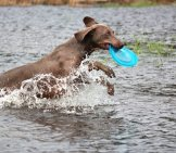 Weimaraner Playing In The Water.