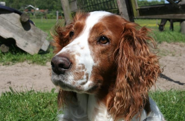 Closeup of a Welsh Springer Spaniel