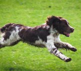 Muddy Welsh Springer Spaniel Racing In The Field
