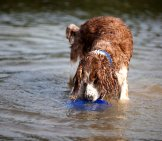 Welsh Springer Spaniel With His Frisbee In The Water