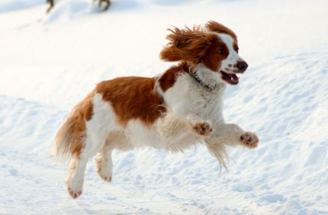 Welsh Springer Spaniel playing in the snow