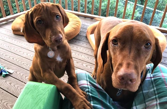 A pair of Vizslas posing for a photo, vizsla puppy