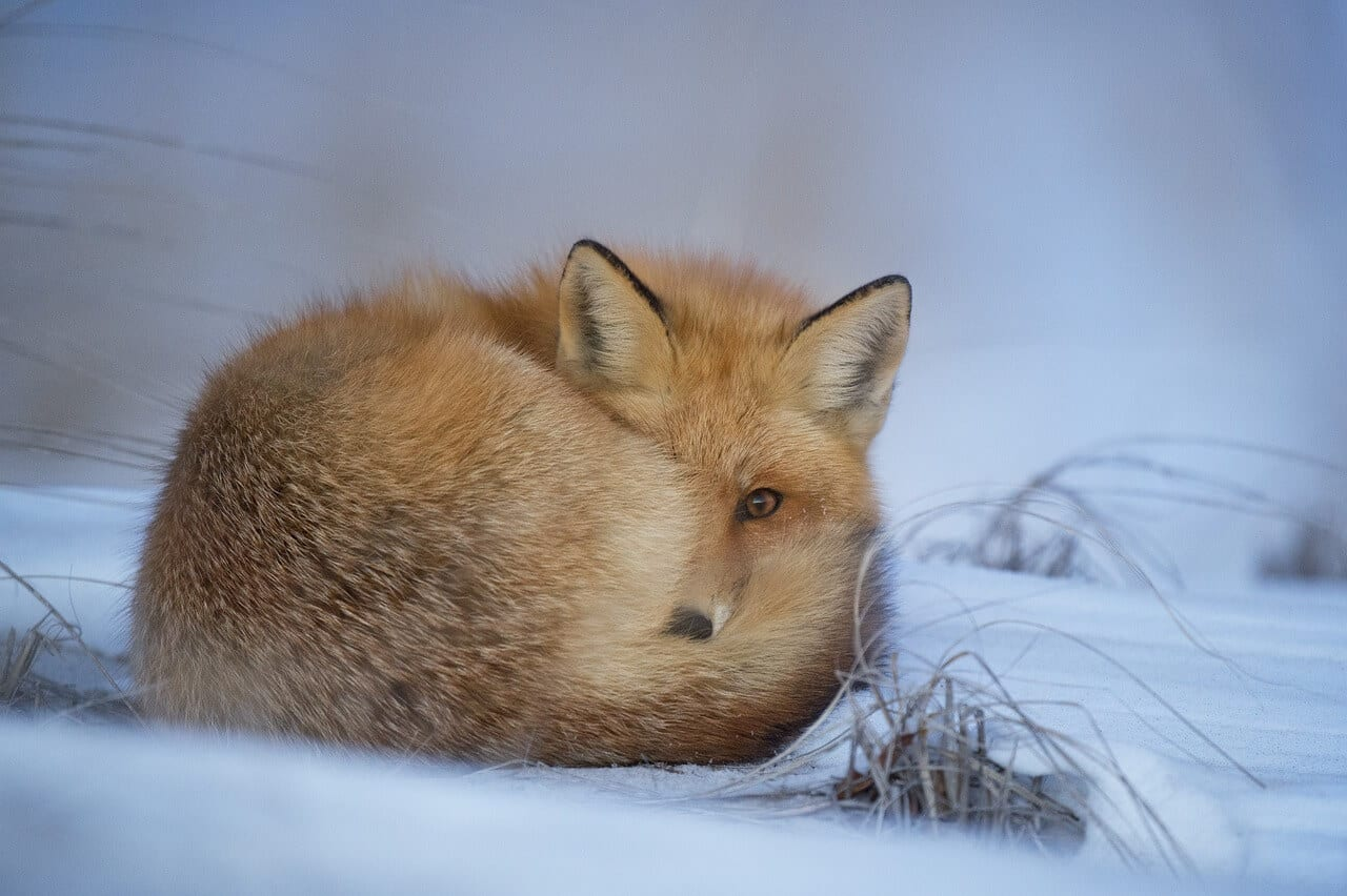 https://pixabay.com/en/animal-fox-canine-cold-cute-1850186/