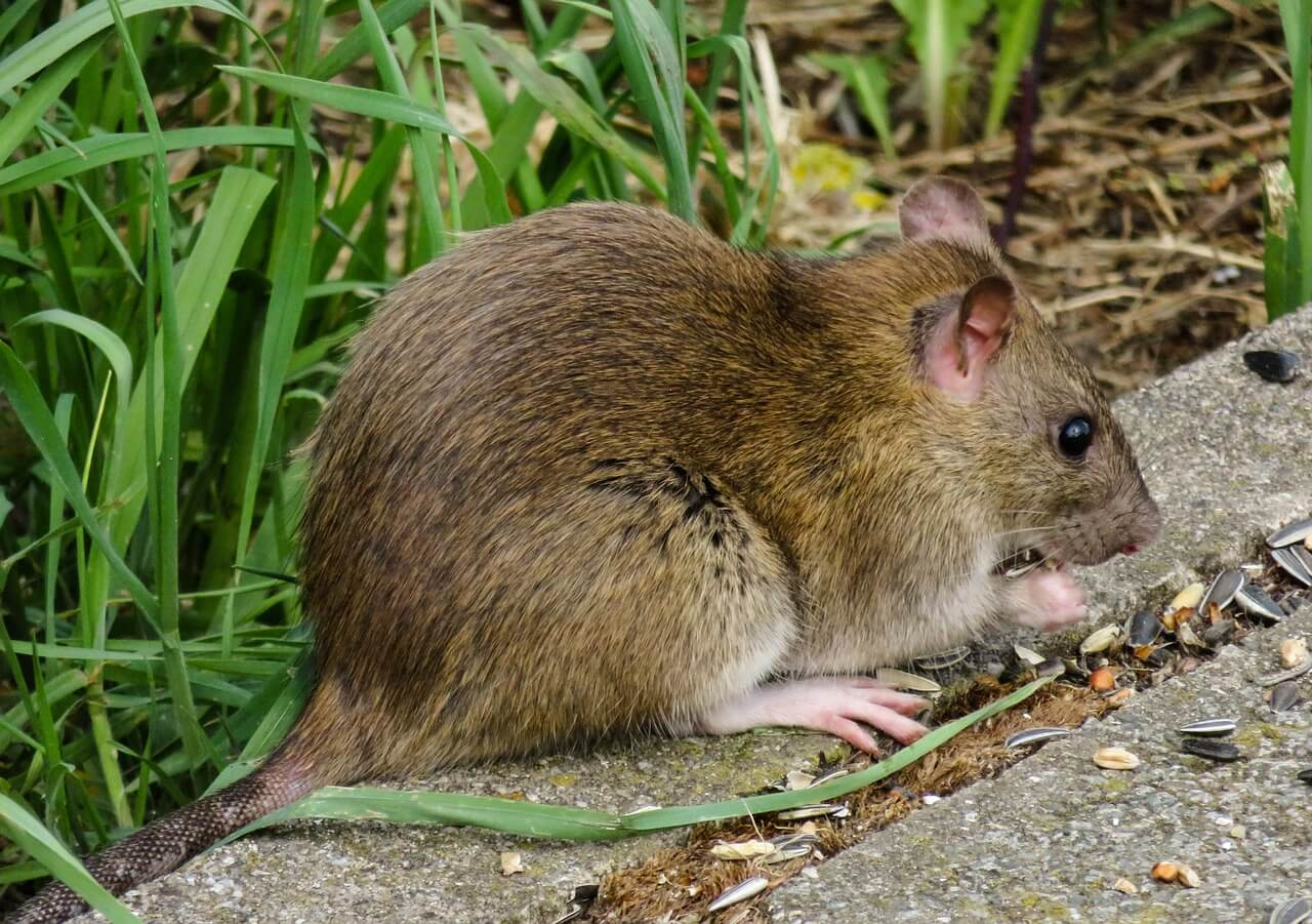 //pixabay.com/en/animal-world-nager-rat-brown-3552300/