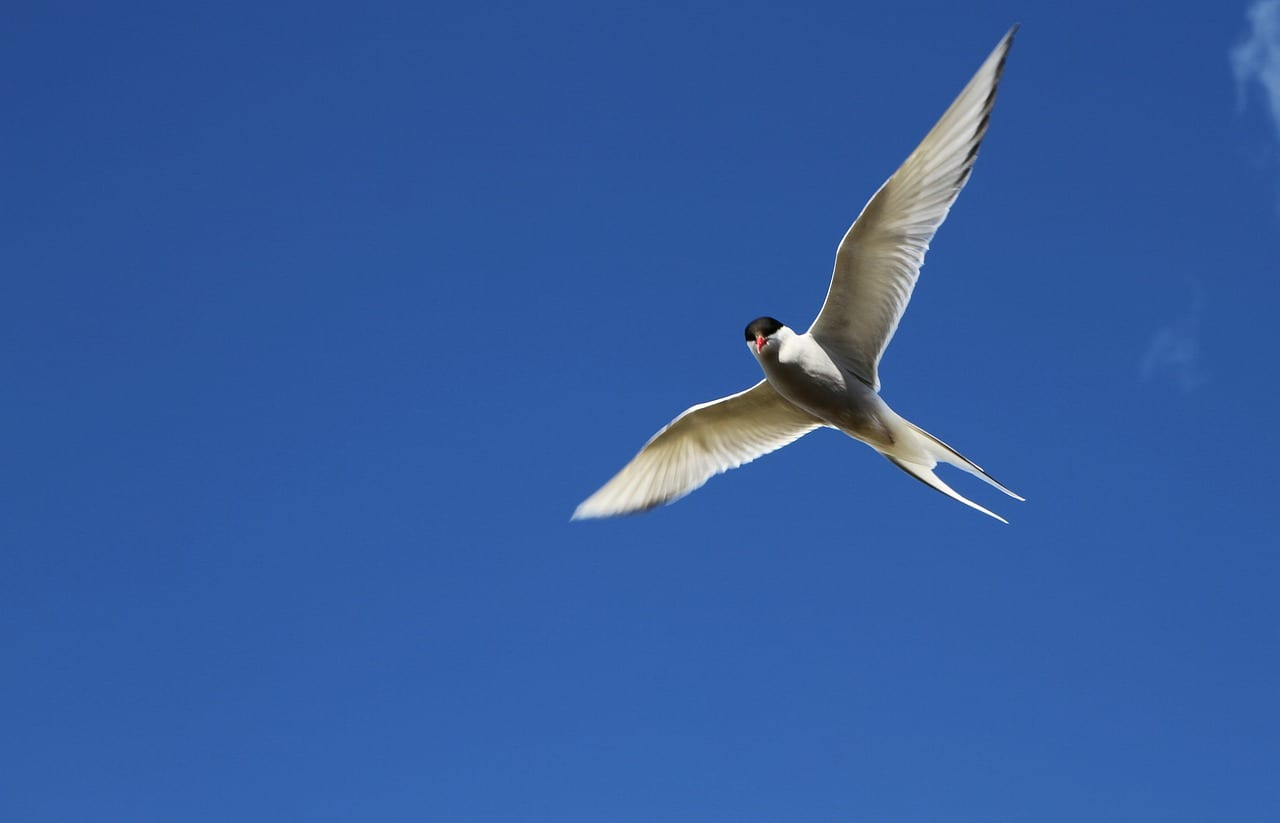 https://pixabay.com/en/arctic-tern-tern-bird-flight-2587391/