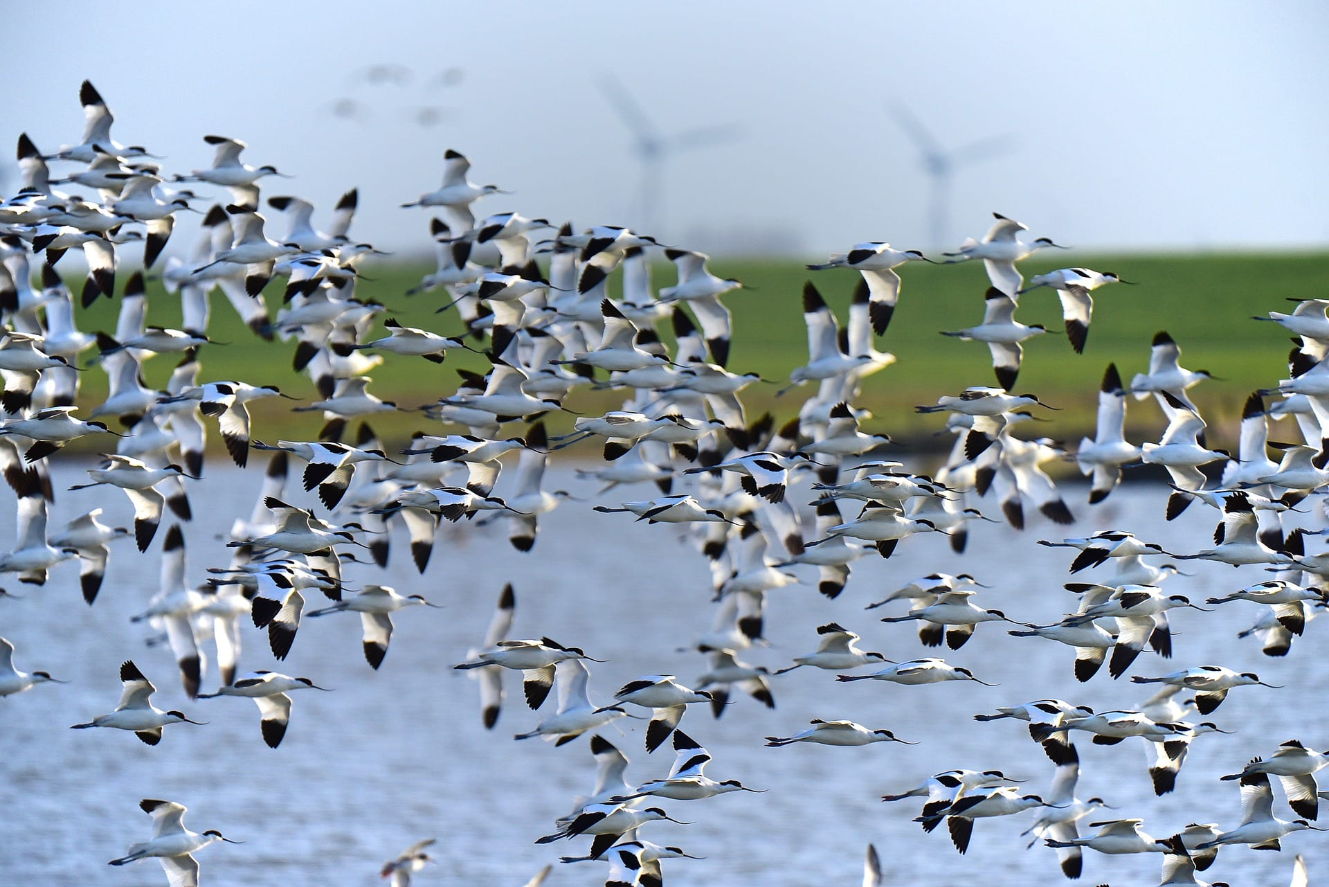 https://pixabay.com/en/avocet-north-sea-bird-migration-1773758/