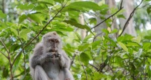 //pixabay.com/en/balinese-long-tailed-macaque-macaque-3541057/