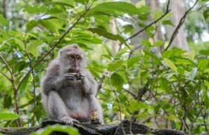 https://pixabay.com/en/balinese-long-tailed-macaque-macaque-3541057/