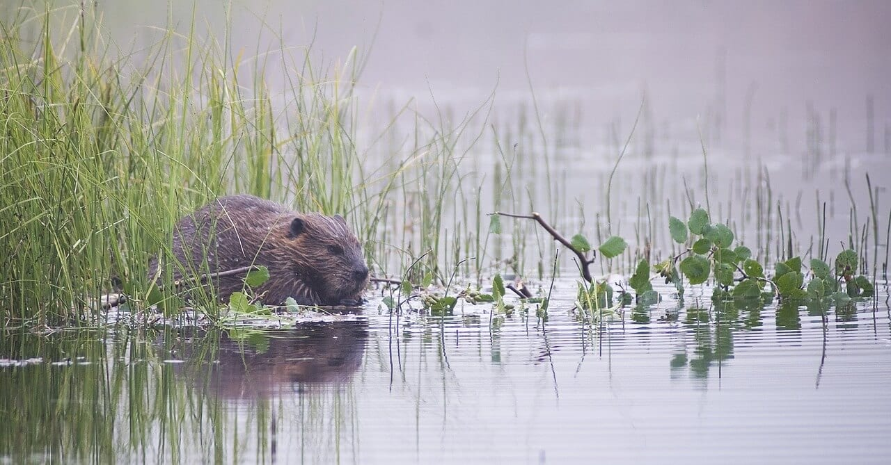https://pixabay.com/en/beaver-rodent-animal-wildlife-1550270/