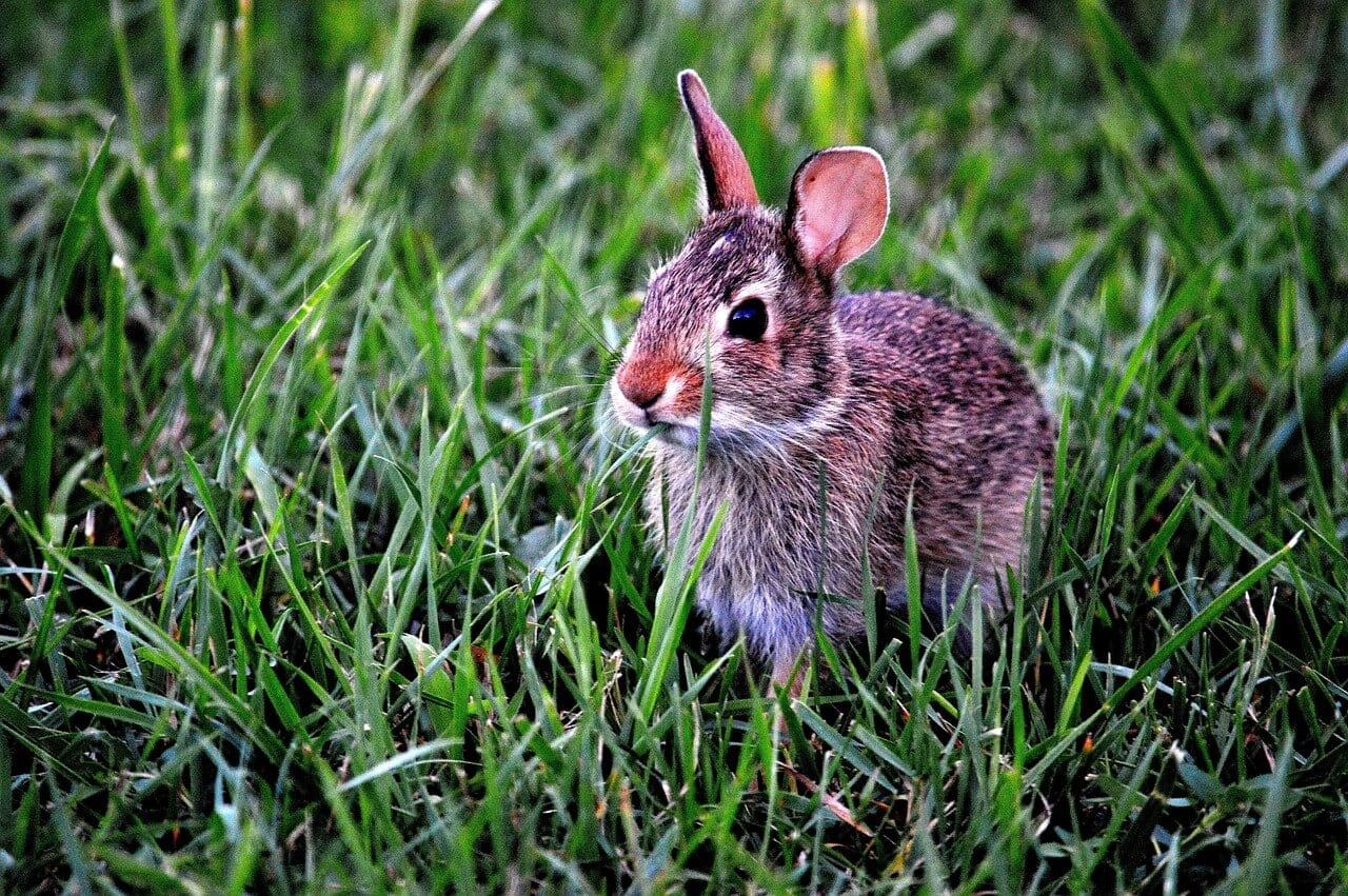 //pixabay.com/en/bunny-rabbit-mammal-cute-animal-183301/
