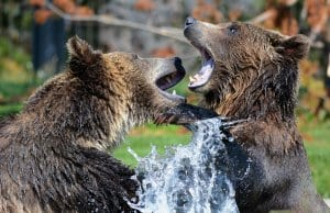 //pixabay.com/en/grizzly-bears-playing-sparring-210996/