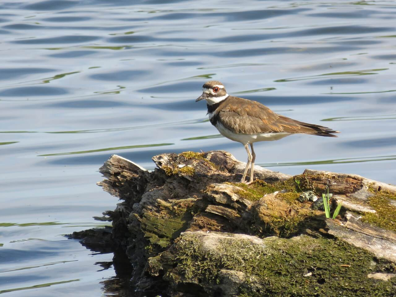 https://pixabay.com/en/killdeer-bird-pond-nature-wildlife-785060/