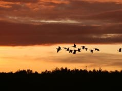 https://pixabay.com/en/migrating-birds-sunset-nature-birds-2769633/