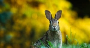 //pixabay.com/en/rabbit-hare-animal-wildlife-bunny-1882699/