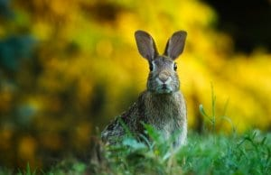 https://pixabay.com/en/rabbit-hare-animal-wildlife-bunny-1882699/
