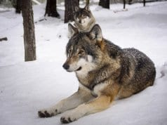 //pixabay.com/en/wolves-snow-predators-wolf-winter-2058902/