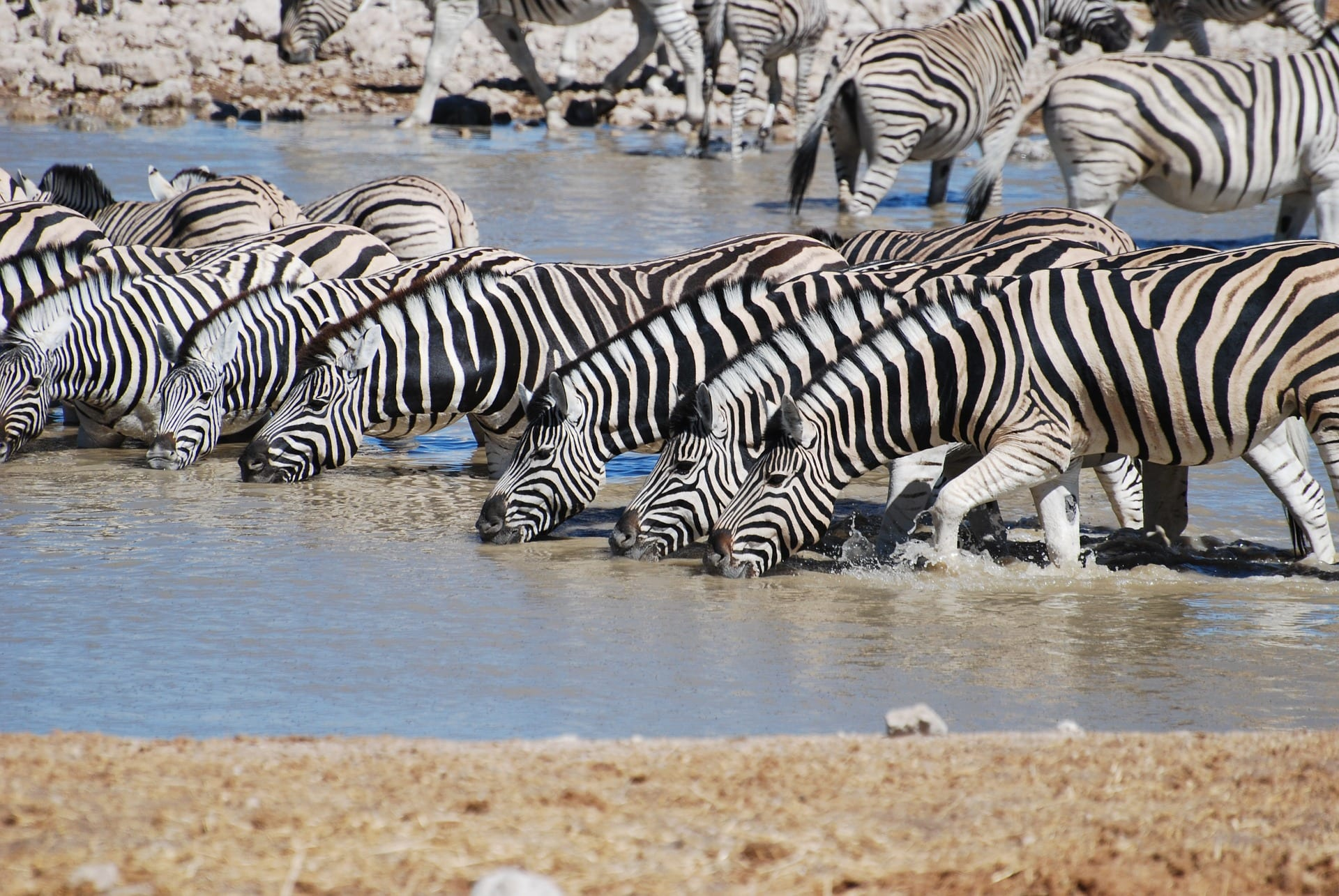 https://pixabay.com/en/zebra-drinking-safari-nature-806302/