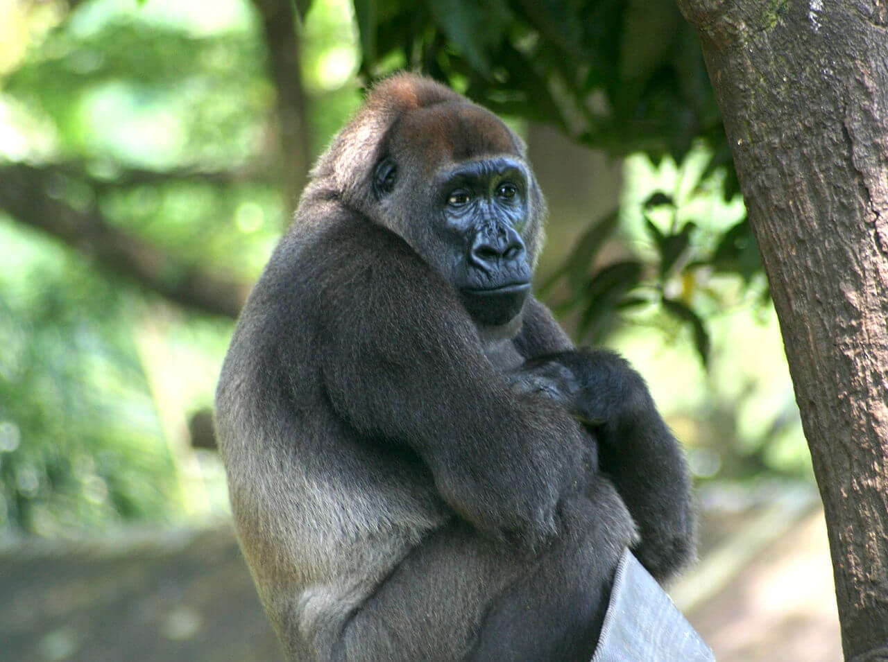 //en.wikipedia.org/wiki/Cross_River_gorilla#/media/File:Cross-River-Gorilla-Gorilla-gorilla-diehli).jpg
