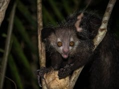 https://en.wikipedia.org/wiki/Aye-aye#/media/File:Wild_aye_aye.jpg