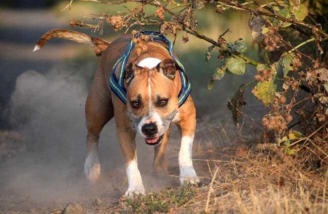 American Staffordshire Terrier playing in the woods