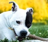 Cute American Staffordshire Terrier With A Chew Stick