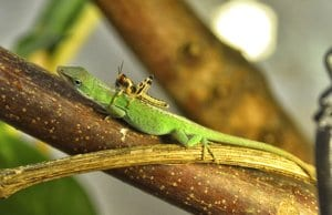 Anole lizard with a hitchhiker grasshopper
