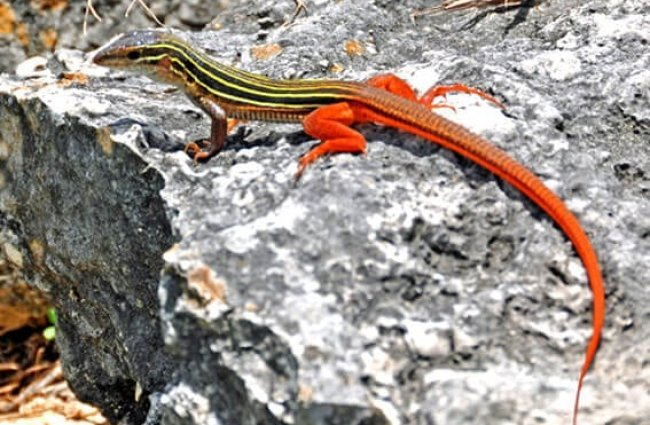 Beautiful, bright Anole lizard. Photo by: Dennis Jarvis https://creativecommons.org/licenses/by-sa/2.0/