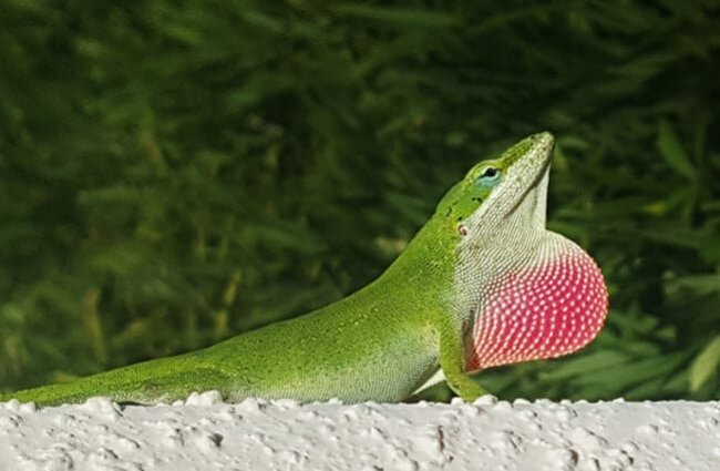 Green Anole sunning himself atop the wall.