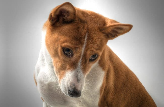 Portrait of a curious Basenji Photo by: fugzuhttps://creativecommons.org/licenses/by/2.0/