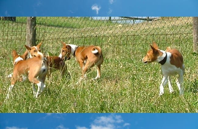 A whole family of Basenji playing in the yard Photo by: fugzu https://creativecommons.org/licenses/by/2.0/